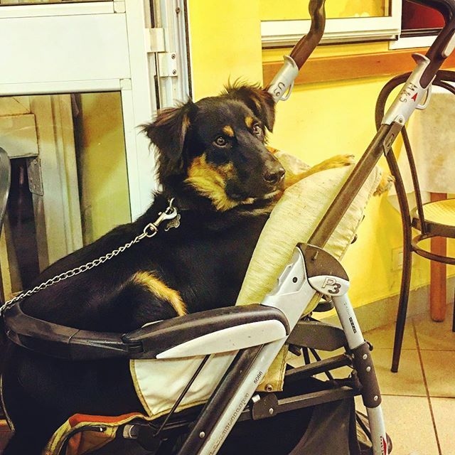Baby dog! #dog #cane #babydog 😀#cucciolo #passeggino #babytrolley #calambrone #pisa #life #vita
