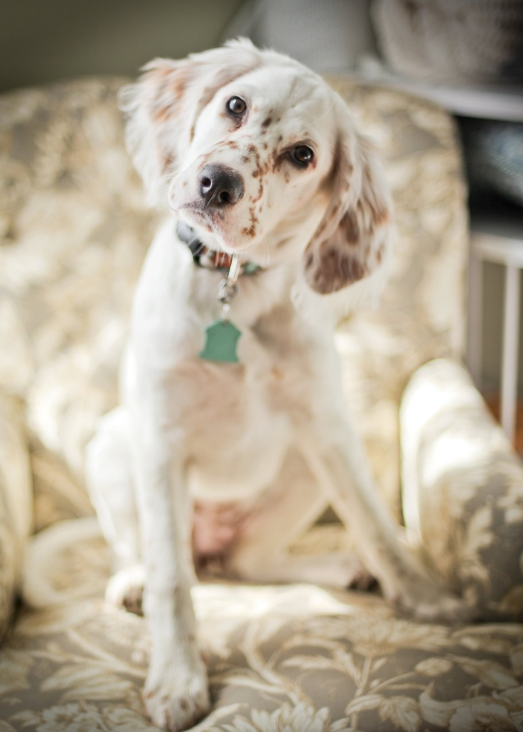 My English Setter puppy, Annie.