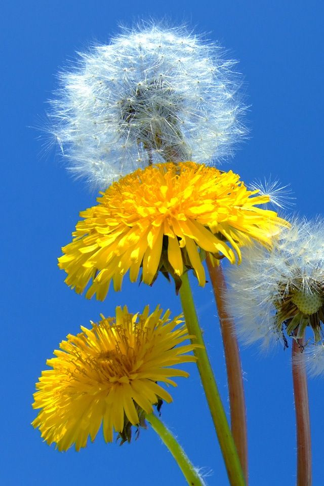 I like to let a few dandelions grow on my property.  Nice big pretty ones.  Then I pick the seed heads so they don't spread.  If we have dandelions grow where I don't want them, I pick all the dandelion flowers.  They are a biennial.  So the flower grows the second year, and then the plant dies.