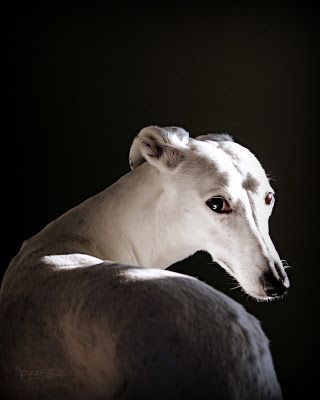Another Greyhound pic.  I don't know if I'll ever see one that won't make the grade.  #puppied