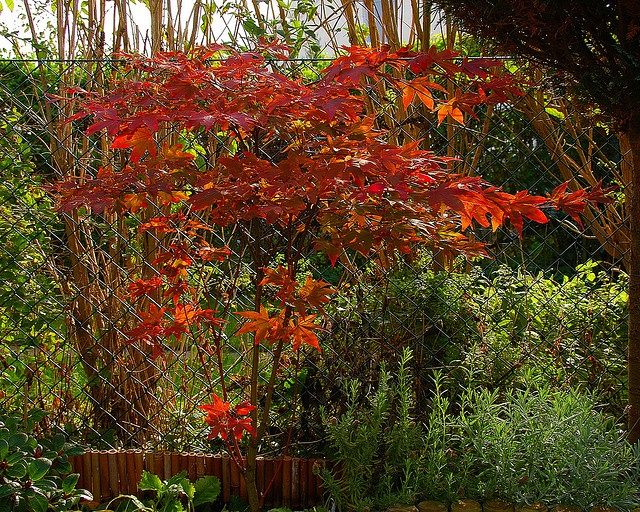 One of our small maple's in its autumn dress - the other one we've, is a Japanese Maple and it's red as soon it got leaves - unfortunately all its leaves blown away by now due to the windy weather here. (see it in the previous photo in my set Autumn   autumn clothes