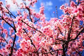"""158days 繼過年臉書上滿滿的櫻花照片後,緊接著是日本的櫻花季了。 多年以前,全家族出遊踏青,剛好碰上滿路的櫻花,沿路都是同一個進香團遊覽車的阿公阿媽,用他們的台灣國語不斷講著""""櫻花....櫻花"""" 那一整天都傻傻分不清楚,到底是講花,還是在叫我?"""