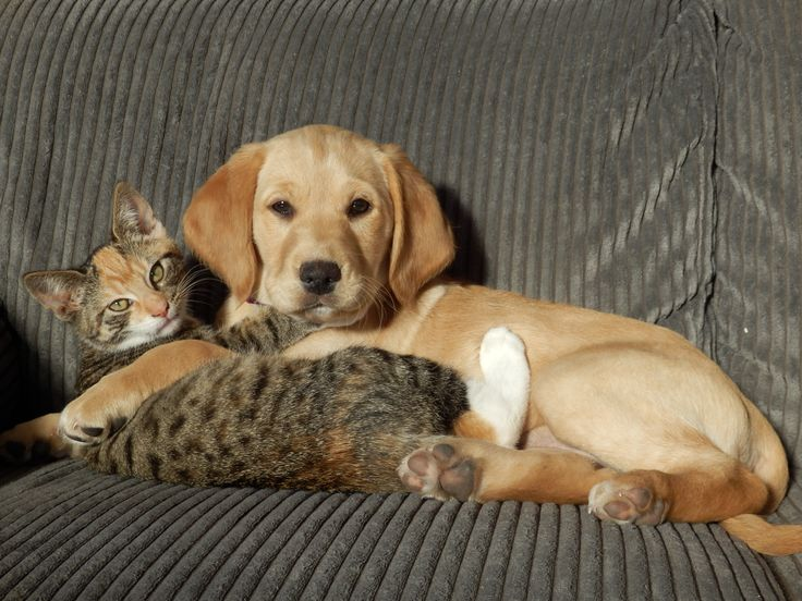Labraspoodle Mischa Cute Puppy & Kitten Molly