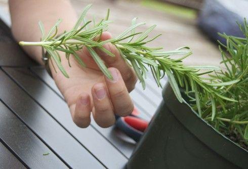 Pas-à-pas pour bouturer le romarin. Fonctionne aussi avec la menthe et le basilic (pour ce dernier, pas besoin d'hormone; les racines poussent très facilement!).