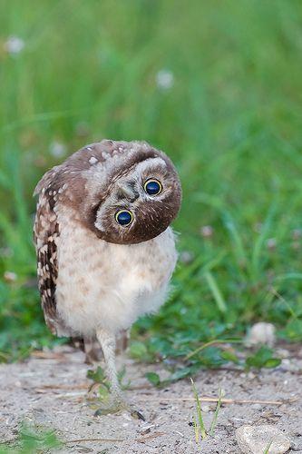 Burrowing Owl Yoga Young Burrowing Owl (Athene cunicularia) Stretching
