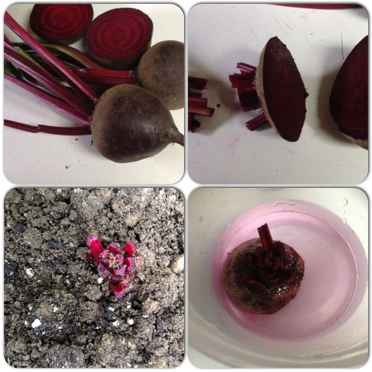 FREE FOOD How to Re-Grow Beets. Follow the pictures clockwise. These beets were grown , tops cut off and place in water stow weeks the  replanted for another growing.