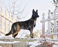 best breed ever and becoming alot more common in the usa but most are being misidentified i adopted mine from the humane society and was told he was a lab mix until i went to a military dog demo and learned he was a pure bred dutch shepard