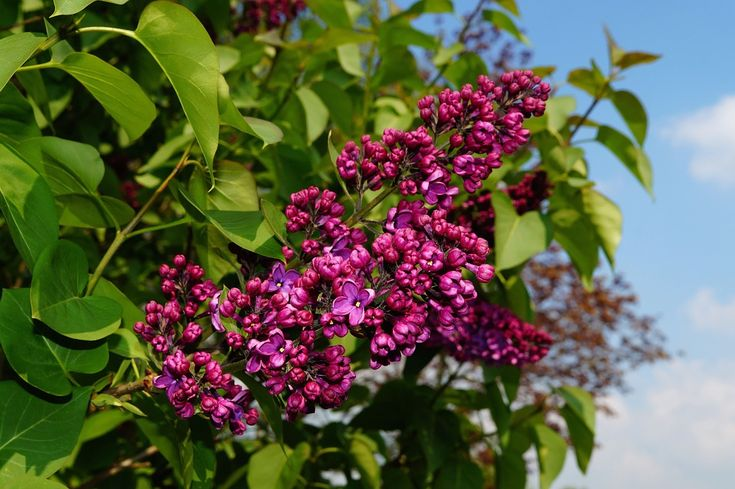 Lilac! One of the hardiest more vigorous sweet smelling pretty flowering shrubs. I will definitely have plenty of lilacs around my home and land
