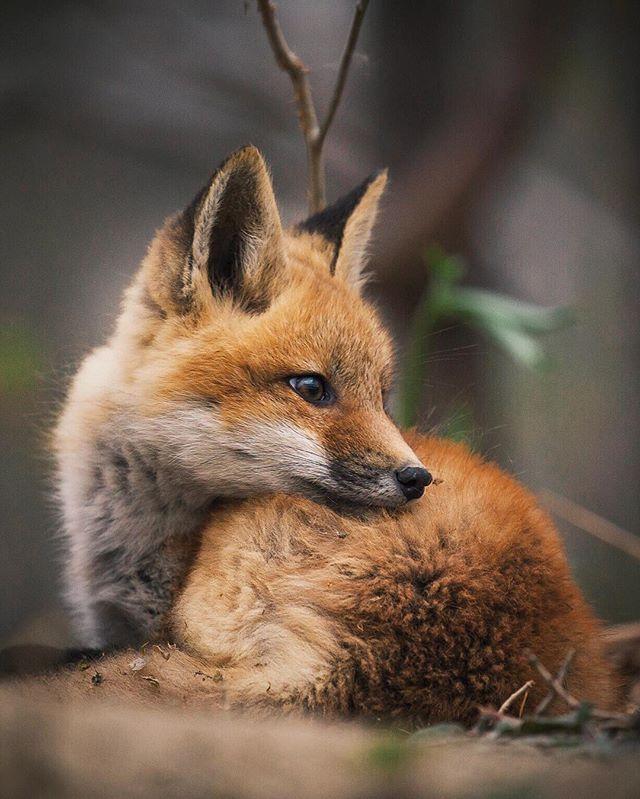 Red Fox Cub by Julie Audet