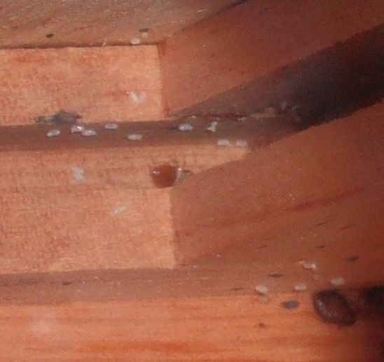Bed Bug Pictures - Bed Bug Treatment Site