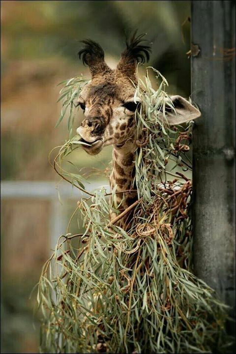 Didn't know giraffes used camouflage,  huh?  Me either.   A cute mess.
