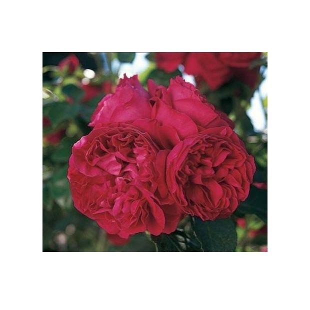 Rosier grimpant à grandes fleurs pourpres, exhalant un puissant parfum en milieu de journée. Obtention Meilland.