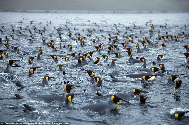 Situada a 1.450 quilómetros da Austrália, a ilha Macquarie aberga quatro milhões de pinguins, 100.000 focas e… zero humanos.