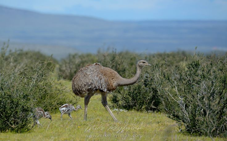 Darwin's rhea (Rhea pennata) with chicks. Torres del Paine National Park, Ultima Esperanza Province, Magallanes and Antartica Chilena Region XII, Patagonia, Chile. - Patagonia-Wildlife-and-Horses - Mike Reyfman Photography