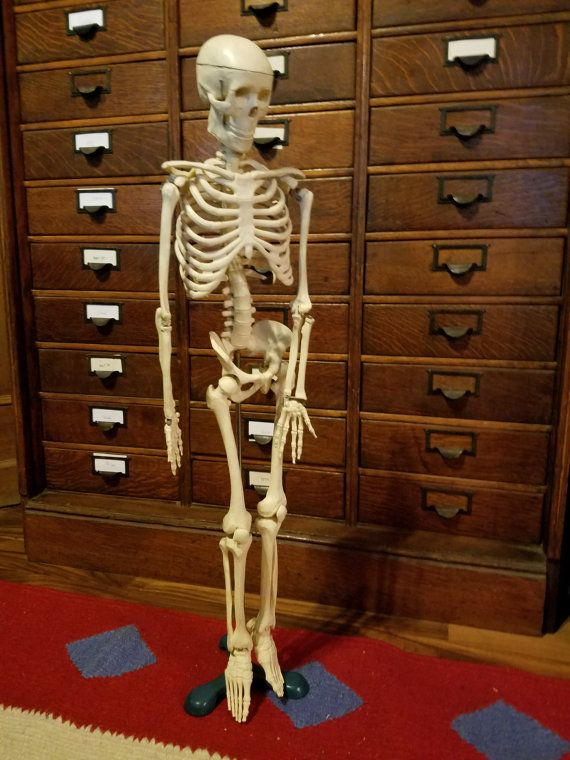 Hey, I found this really awesome Etsy listing at https://www.etsy.com/listing/472439708/vintage-anatomical-human-skeleton-model