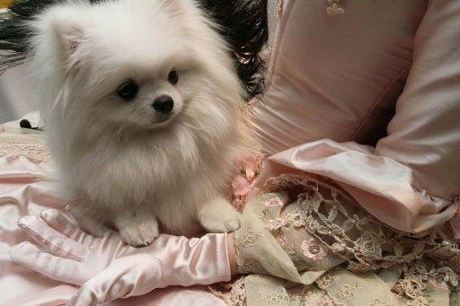White pom. I want her!