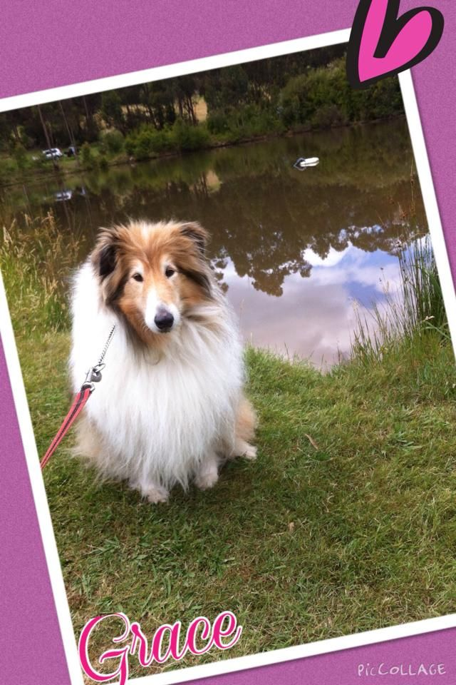 Gorgeous Grace on her walk whilst enjoying her doggy day care