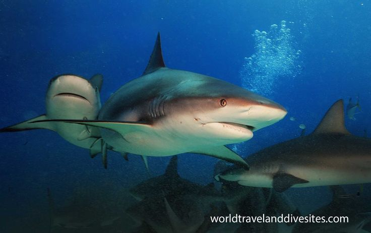 Shark lullaby. Check for more at http://worldtravelanddivesites.com/