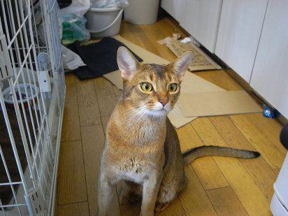 Abisinio, mirada llena de curiosidad | Cuidar de tu gato es facilisimo.com