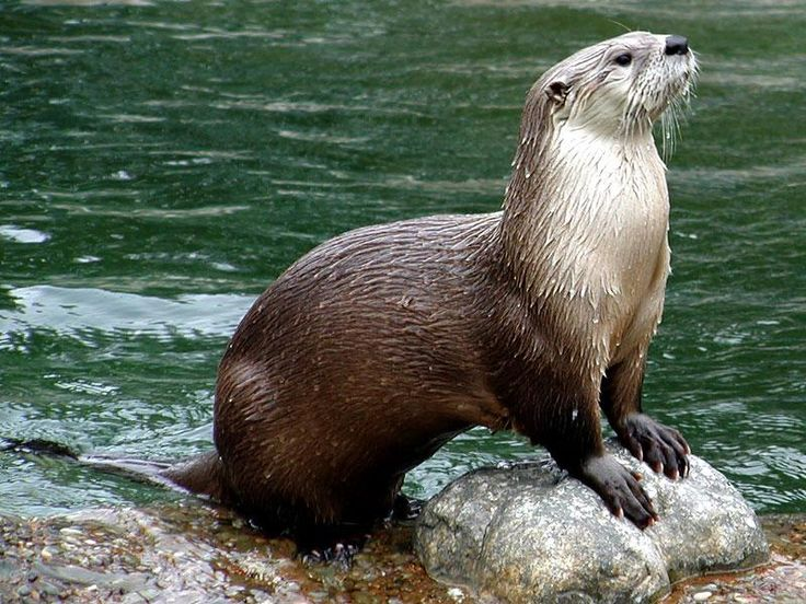 The majestic American River Otter: Favorite Things, Google Search, Rivers T-Shirt, Otters Nonsen, Favorite Animal, Animal Totems, American Rivers, Sea Otters, Rivers Otters