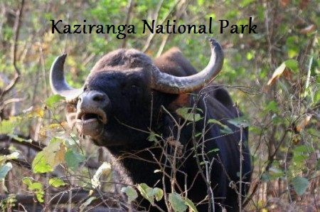 "Kaziranga National Park is located in Assam. It has the highest density of Royal Bengal Tigers in the world. The park also hosts two-thirds of the world's Great One-horned  Rhinoceroses, Indian elephants ""The holy Animals"", wild water buffalo, and swamp deer. Kaziranga has achieved notable success in wildlife conservation as compare to other protected areas in India."