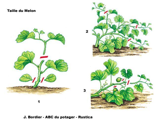 Tailler le melon - Quand planter les courgettes ...