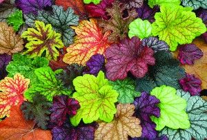 "Heucheras, the ""new hostas"" for shady spots, more colorful."
