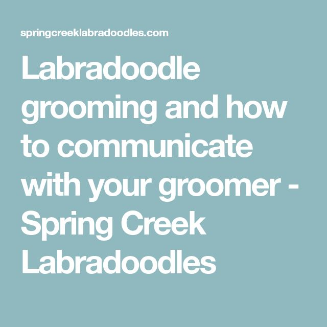 Labradoodle grooming and how to communicate with your groomer - Spring Creek Labradoodles
