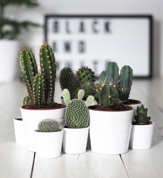 cactussen zijn een leuke decoratie voor in je huis!