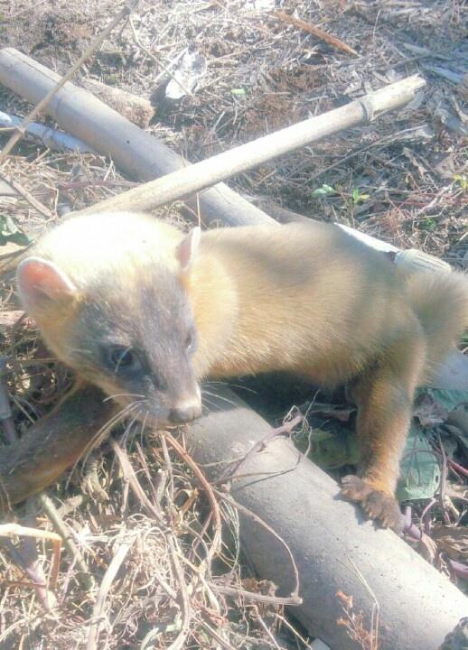 Weasel on the field