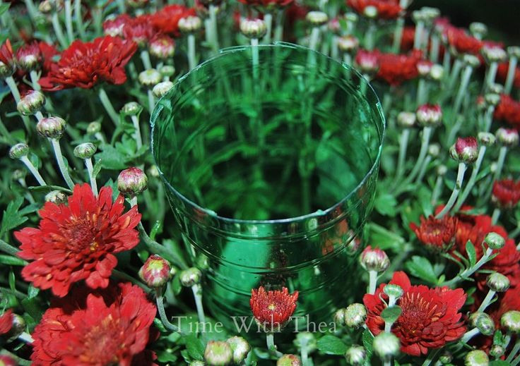 Watering Outdoor Fall Mums So They Last ~ It is easy keep your outdoor Fall Mums healthy and extend their blooming time with this clever watering tip! / timewiththea.com