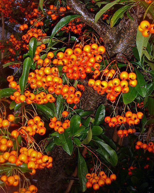 47 Best Pyracantha Images On Pinterest Garden Plants 400 x 300