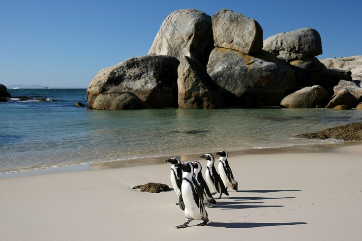 Boulders #Penguin Colony, near #CapeTown is one of the few places in the world where you can get up close to a breeding colony and enjoy their sandy beach, just a short drive from the Twelve Apostles Hotel. #Hotels