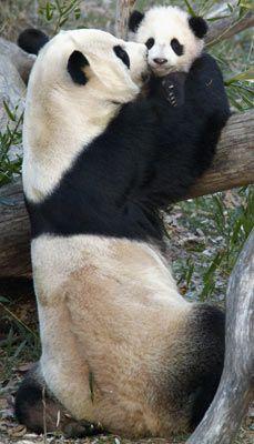 Baby panda love!