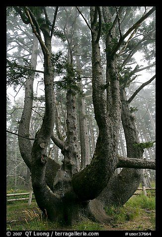Octopus (Chandelier) tree, Oregon