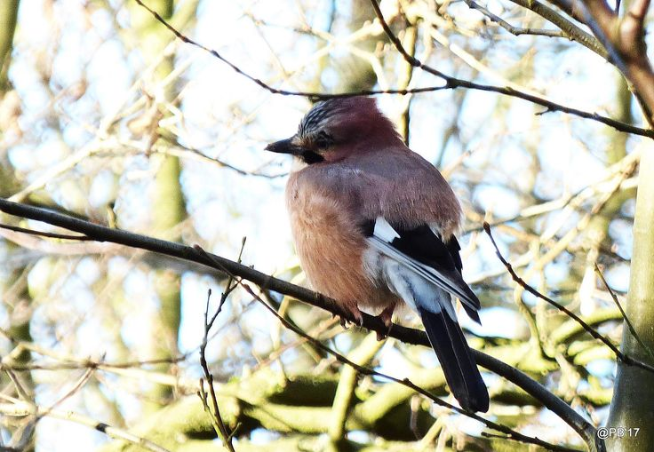 https://flic.kr/p/TaFioT | Garrulus glandarius | The Jay is a colourful crow that is about the same size as a Jackdaw.  They are mostly a pinkish brown, the underparts being slightly paler. The head has a black and white flecked crown, black moustache and white throat. The white rump contrasts starkly with the black tail. The iris of the eye is a pale blue, the bill is black and the legs are pink-brown. The wings are mostly black with white patches but also have striking blue patches, but…