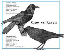 Image result for baby crow flying