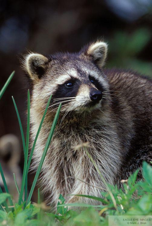 Young Raccoon, Everglades National Park, Florida ~ PHOTOGRAPHY BY MARK J. BILAK