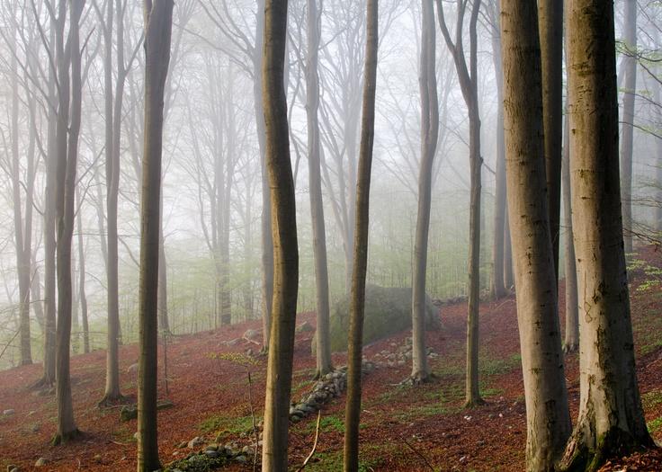 Beech forest outside Gothenburg Sweden. #sweden