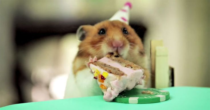 Hamster eating a cake - although this wouldn't be very good for them. Don't recommend doing this.
