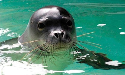 Hawaiian Monk Seal - I love watching seals in general!! :-)Watches Seals, Awesome Animal, Sweets Face, Sea Life, Animal Kingdom, Sea Lion, Amazing Animal, Monk Seals