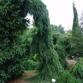 Smrek Omorika (previsnutý) Pendula 80/100 cm, v črepníku Picea omorika pendula