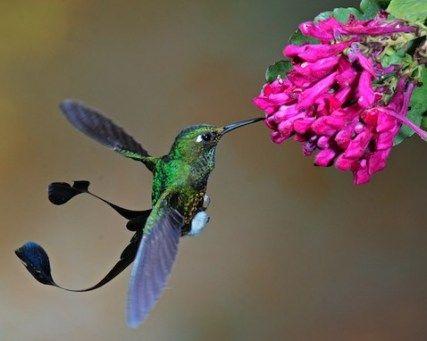 The Marvellous spatuletail (Loddigesia mirabilis) also known as the Peruvian  racquet-tailed hummingbird