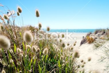 Footpath to the Beach through Cottontail Grass Royalty Free Stock Photo