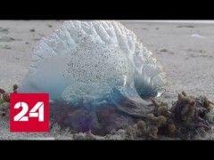 Пляжи Таиланда оккупировали ядовитые медузы http://тула-71.рф/новости/25127-pljazhi-tailanda-okkupirovali-jadovitye-meduzy.html