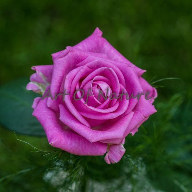 Fotografia z różą / Rose Photography 15 x 15 cm - Art-Of-Nature