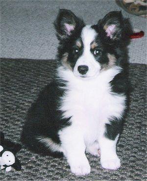 Corgi + Australian shepherd  Probably the smartest and cutest dog in the world.