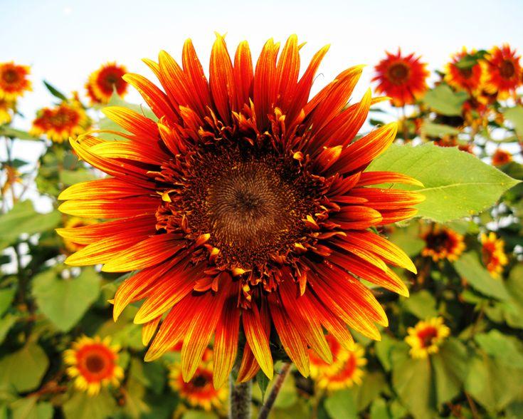 Orange Sunflower Bouquet