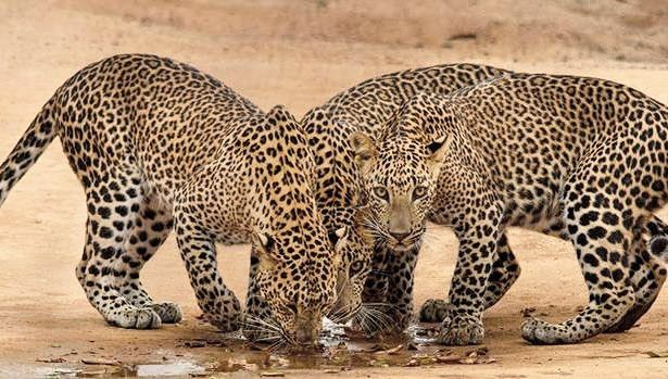 Currently #SriLanka experiencing a drought Lets pray for Sri Lanka.  Three leopards quenching thirst at Yala National Park.  Photograph taken at last year drought season by Chandika Jayaratne  #SriLanka #hashtagsrilanka #Drought #leopard #wildlife #holiday #travel #visit #travelsrilanka #visitSriLanka