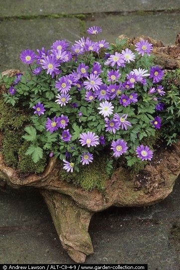 Anemone blanda in wooden container